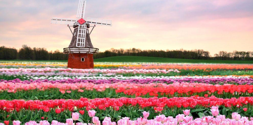 pink tulips euus bestour